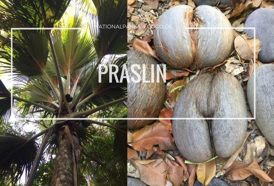 Palme und Coco de Mer Kokosnuss auf Praslin