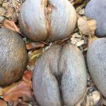 Coco de Mer Kokosnuss auf Praslin