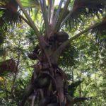 Palme mit Kokosnüssen im Nationalpark Fond Ferdinand auf Praslin, Seychellen