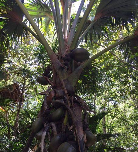 Palme mit Kokosnüssen im Nationalpark Fond Ferdinand, Praslin, Seychellen