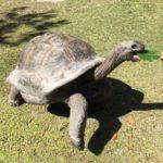 Schildkröte wird auf der Seychellen Insel Curieuse gefüttert