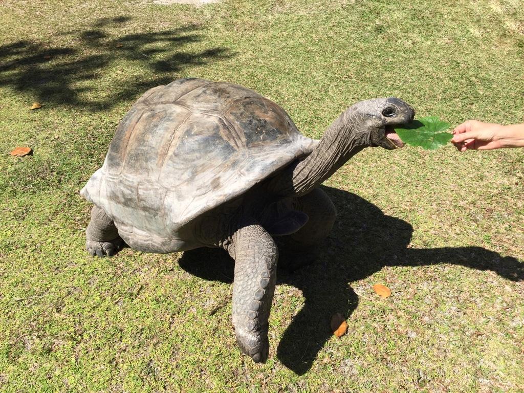 Schlidkröten füttern auf Curieuse seychellen-reisetipps